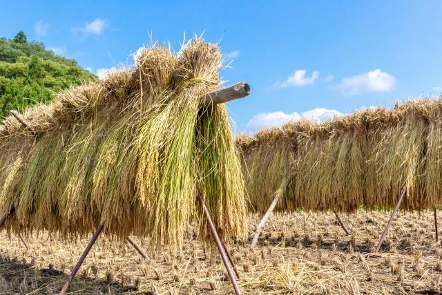 天日干しのお米は機械で乾燥したお米よりも美味しいの?