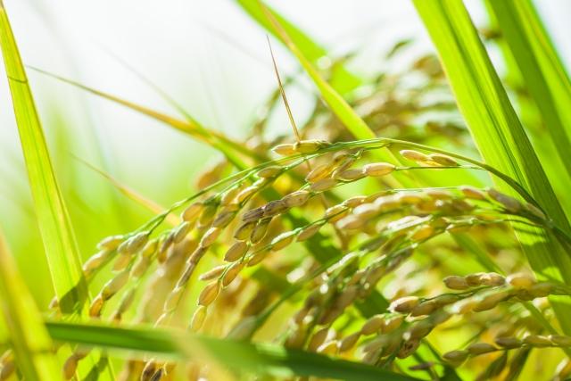 お米作りの陸稲栽培と水稲栽培の違いは?